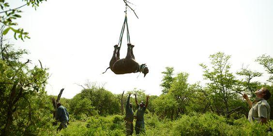 Mit Hilfe von Militärhubschraubern organisiert der WWF den Umzug von…