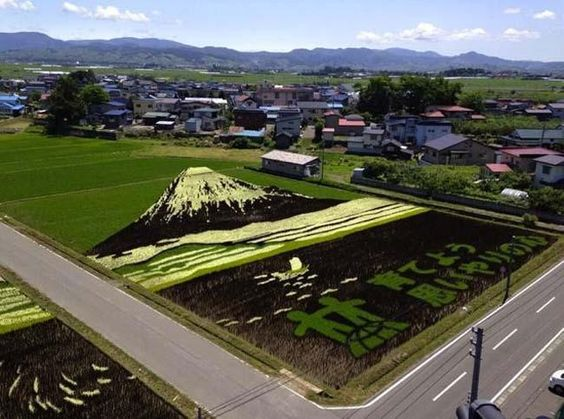 Art paintings in the rice fields [Japan]  Growing different types of rice, some farmers have transformed their flooded fields into works of art.