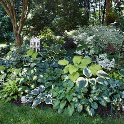 REINFORCE NEARBY FOLIAGE --  Tucked under a tree, this planting extends the bed to the variegated shrub nearby. The mostly white variegated hostas reinforce the shrub's foliage colors.