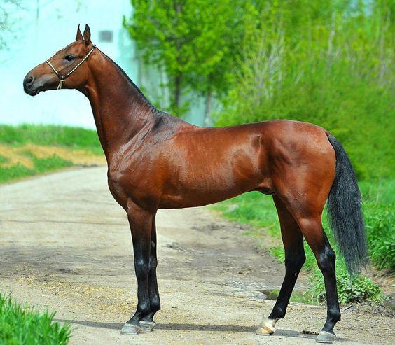 bay - Akhal-Teke stallion Bastion | horses | Pinterest ...