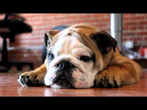 Porter the English Bulldog is NOT happy.. but he's so cute! Hahah the weirdest noises..