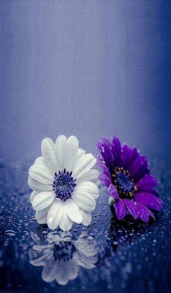 flores blanca y morada
