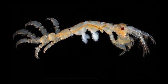 http://plankton.image.coocan.jp/Crustacea3-2-1-3-2-020_0006.jpg