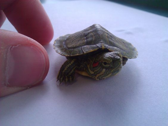looks just like my turtle i used to have! I miss you Earl!