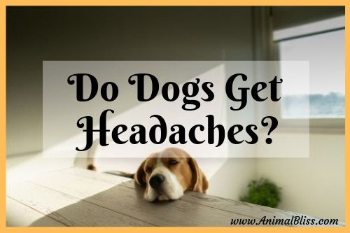 Do Dogs Get Headaches Signs And Symptoms Of Canine Headache