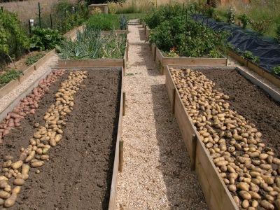 potager en carr ma r colte de pommes de terre vous avez plant un potager au carr mon. Black Bedroom Furniture Sets. Home Design Ideas