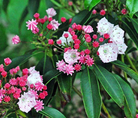 Mountain Laurel (Kalmia latifolia). Zones 4a - 9b.