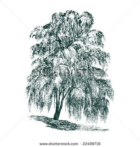 Google Image Result for http://image.shutterstock.com/display_pic_with_logo/234091/234091,1230402142,28/stock-vector-vintage-detailed-vector-tree-willow-22499716.jpg