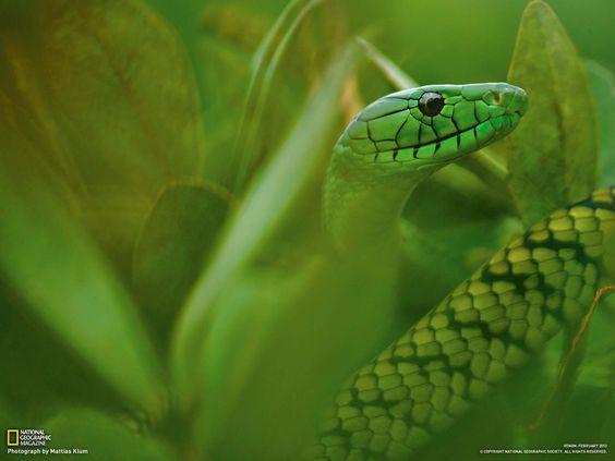 green mamba cameroon - Google Search http://photography.nationalgeographic.com/photography/photo-of-the-day/mamba-cameroon-klum/