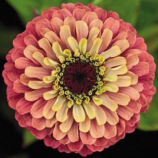 Zinnia Queen Red Lime, The Most Uniquely Colored Zinnia in the World! Seeds are $ 1.95 per package when in stock.