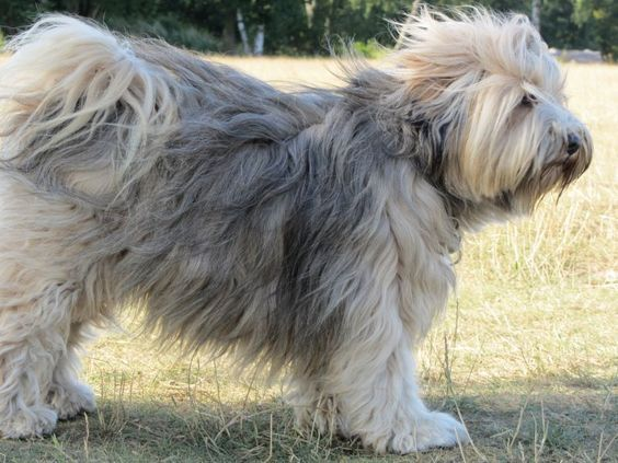 Die Rasse Des Tibet Terriers In 2020 Tibet Terrier Terrierrassen Terrier