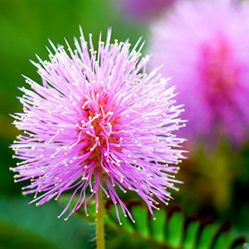 This Plant Moves When You Touch It And The Video Is Wild Plants Sensitive Plant Unusual Plants
