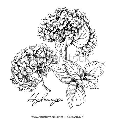 Set Of A Hydrangea Flowers And Leaf Vector Black And White Illustration Pencil Drawings Of Flowers Flower Tattoo Drawings Flower Line Drawings