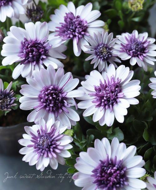 八重咲きダブル オステオスペルマム 4d ブルーベリーシェイク Junk Sweet Garden Tef Tef きれいな花 八重咲き 花
