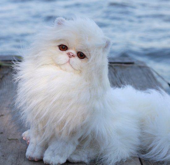 Persian Cat Amelie By Kozlovskaya Svetlana Bear Pile Persian Cat Cats Cat Spray