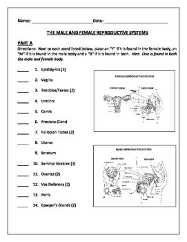 Worksheets Female Reproductive System Worksheet human reproductive system worksheets sharebrowse of sharebrowse
