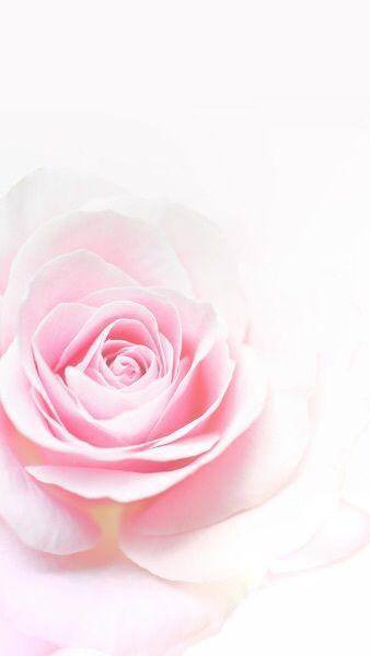 Wallpaper Pink Rose White Background
