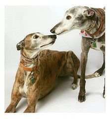 100 Reasons to Adopt a Greyhound