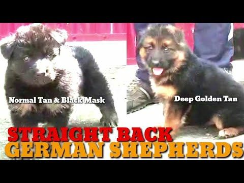 Double Coat German Shepherd Straight Back Puppies Ready For Sale