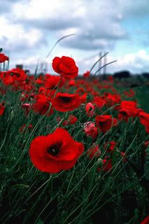 Poppies Photo:  This Photo was uploaded by laspanishflavah. Find other Poppies pictures and photos or upload your own with Photobucket free image and vid...