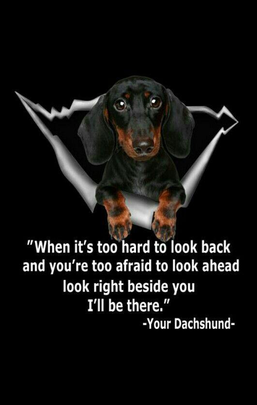 Dachshund Dachshund Dog Dachshund Puppies Funny Dachshund