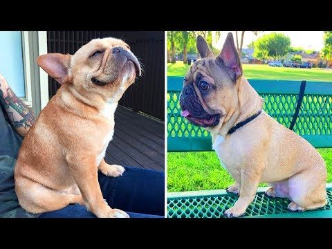 Best Of French Bulldog Video Funny And Cute French Bulldog