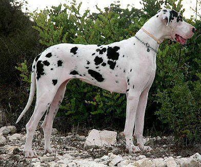 Great Danes We Had One Like This A Harlequin Great Dane