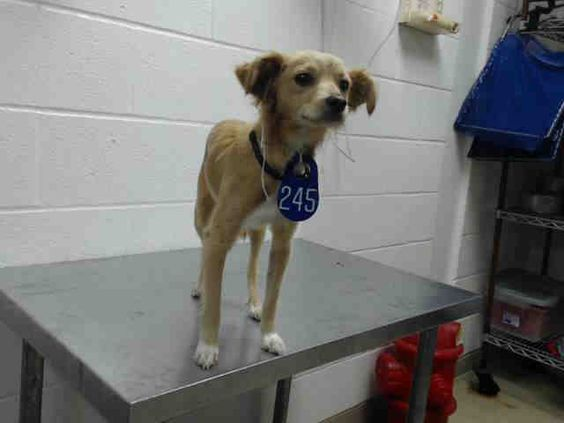 Houston~This DOG - ID#A413174 I am a female, yellow and white Chihuahua - Long Haired mix. My age is unknown. I have been at the shelter since Au...