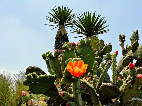 flor de nopal...
