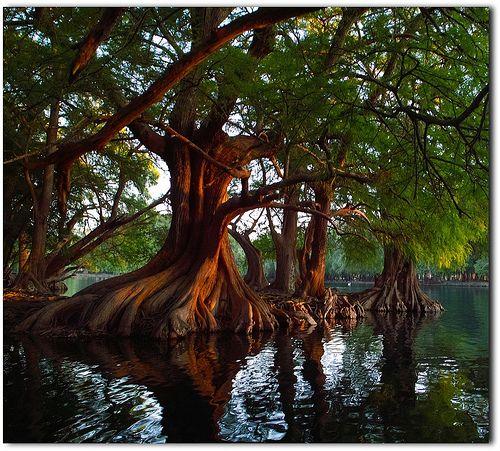 Cyprus Trees, Michoacan Mexico