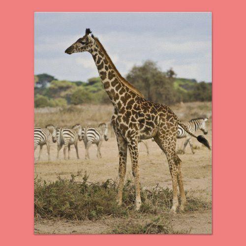 Masai Giraffe And Common Zebra At Amboseli Np Poster Zazzle Com In 2020 Giraffe Masai Giraffe Baby Giraffe Nursery