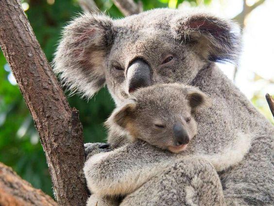 Motherly love . Australia