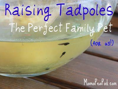 Mama Pea Pod: {Raising Tadpoles: The Perfect Family Pet!}