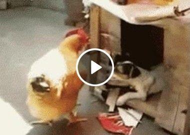 Cachorro atrapalhando a galinha no ninho