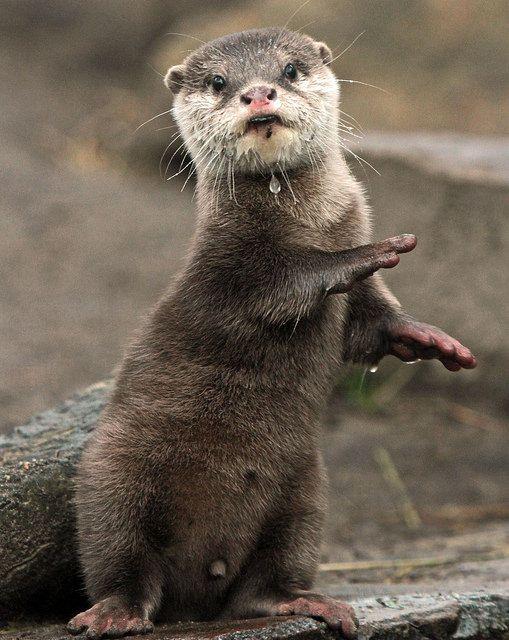 funnywildlife:  aziatische kleinklauwotter Beekse bergen IMG_0228 by j.a.kok on Flickr.Otterly cute