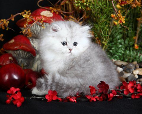 Lightly Shaded Silver Teacup Persian Kitten In 2020 Persian Kittens For Sale Teacup Persian Kittens Persian Kittens