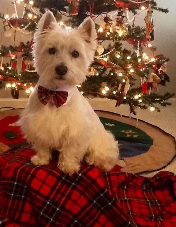 .Westie at a West Highland Christmas with tartan: