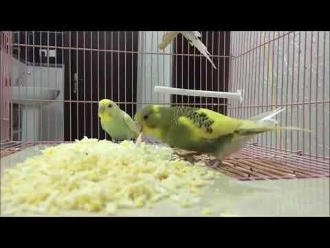 طيور البادجي Youtube Parrot Bird Animals