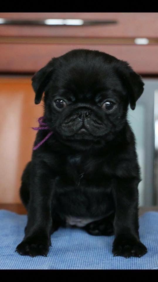Pin By Deborah Merriman On Animals In 2020 Pug Puppies Cute
