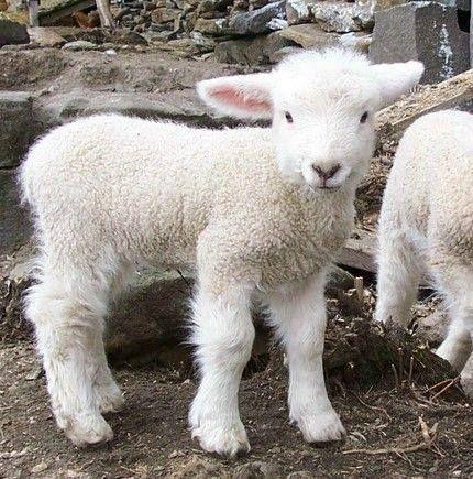 Romney Lamb Animales Bebe Bonitos Animales Bebes Animales Y
