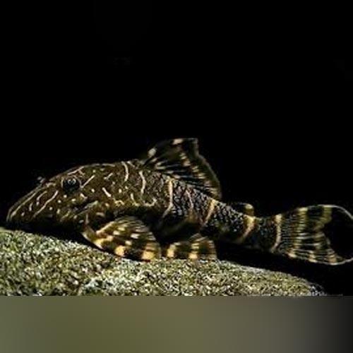 L 104 Clown Stripe Pleco Tropical Fish Aquarium Plecostomus Fish