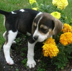 Baby Ella Dog. We think she is a beagle/hound mix.