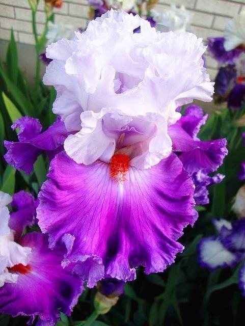 100pcs Rare Iris Bonsai Flower Mixed Colours Heirloom Iris Flowers Potted Plant For Home Garden Planting Blooming Bonsai Plants