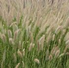 Buy fountain grass Pennisetum setaceum: Delivery by Crocus