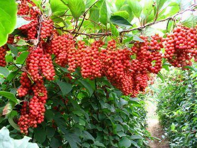 schisandra_chinensis 五味子 wu wei zi - chinese wisteria Chinese 5 Flavor Berry