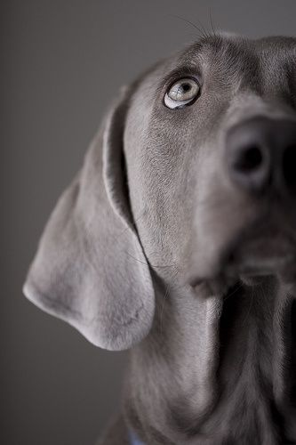 If I were to ever get a dog it would be a Weimaraner