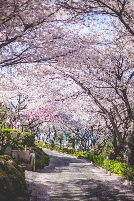 Cotton Candy Vendor Among Cherry Blossoms South Korea Travel Korea Travel Cherry Blossom