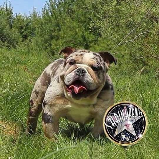 Merle Tri Color Bulldog