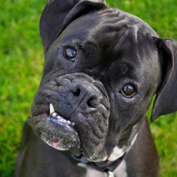 Pinterest the world s catalog of ideas for Brindle boxer