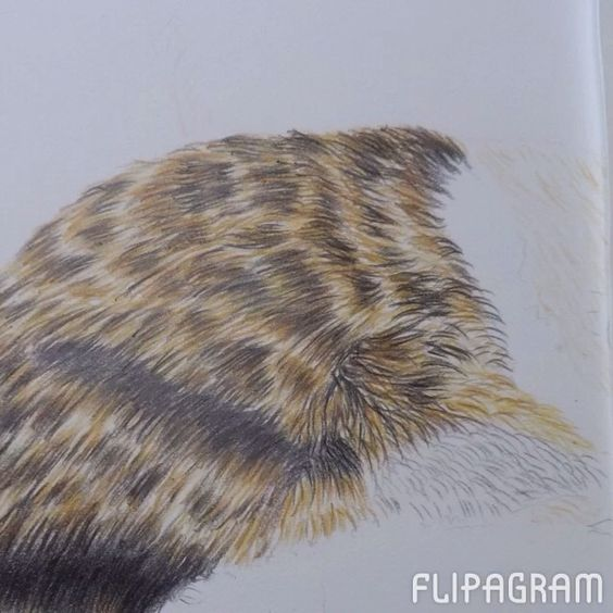 how to draw fur with colored pencil